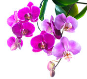 Blooming purple and soft lilac orchid is isolated on white Stock Images