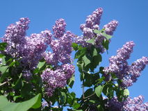 Blooming purple syringa vulgaris twigs Stock Photo