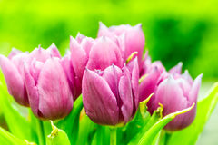 Blooming purple tulips Royalty Free Stock Photo