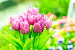 Blooming purple tulips Stock Photography