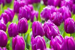 The blooming purple tulips Stock Image