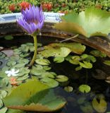 Blooming purple waterlily and falling flowers in china basin Royalty Free Stock Photos
