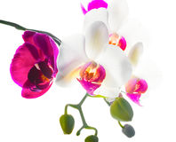 Blooming purple and white  orchid isolated on white Stock Photography