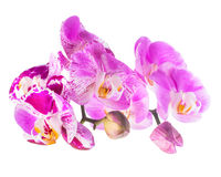 Blooming purple and white stripped flower orchid, phalaenosis stock photography