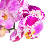 Blooming purple and white stripped flower orchid, phalaenosis royalty free stock photos