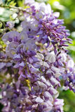 Blooming purple wisteria Royalty Free Stock Photos