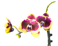 Blooming purple and  yellow  orchid isolated on white Royalty Free Stock Photos