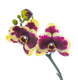 Blooming purple with yellow orchid isolated Stock Photos