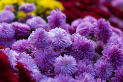 Blooming purple  yellow and purpur Mums or Chrysanthemums Stock Image