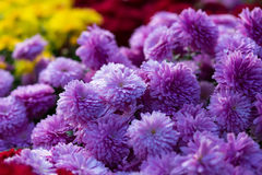 Blooming purple  yellow and purpur Mums or Chrysanthemums Stock Images
