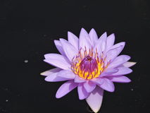 Blooming purple and yellow water lily on black background Royalty Free Stock Images