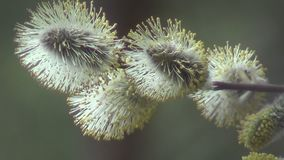 The blooming pussy willow stock video