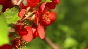 Blooming quince. Cydonia oblonga stock video footage