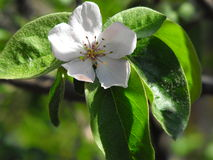 Blooming quince. A wonderful bloom of a quince tree in the spring Royalty Free Stock Photography