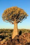 Blooming quiver tree in orange morning light. Quiver tree with blooms in the morning light Stock Image