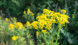 Blooming Ragwort Stock Photography
