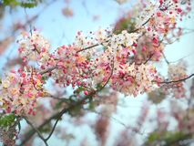 Blooming Rainbow Showers, Fresh Pink Cassia javanica. Blooming Rainbow Showers, Fresh Pink Cassia javanica with blue sky for background Royalty Free Stock Photo