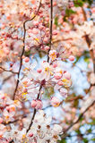 Blooming Rainbow Showers or Pink Cassia flower. Stock Photos