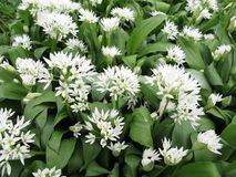 Blooming ramsons Royalty Free Stock Photo