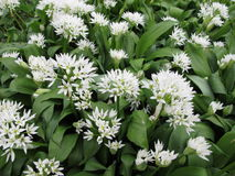 Blooming ramsons Stock Photography