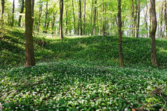 Blooming ramsons in the woodland Royalty Free Stock Photo