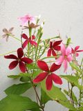 Rangoon creeper flowers. The blooming of rangoon creeper flowers with red and pink color on white wall background Stock Image