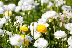 Blooming ranunculuses royalty free stock photos