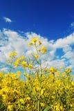 Blooming rape. On blue sky Stock Photos