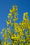 Blooming Rape, Blue Sky Royalty Free Stock Image