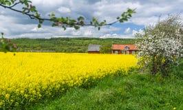 Blooming rape field and apple tree on Swedish farm Stock Photo