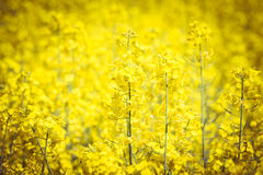 Blooming rape field Stock Image