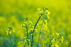 Blooming rape in the field Royalty Free Stock Photos