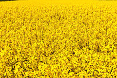 Blooming Rape Field Royalty Free Stock Photography