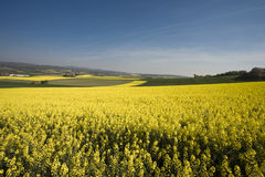Blooming rape field. In the sun Stock Image