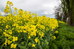 Blooming rape fields Stock Photography