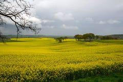 Blooming rape fields Royalty Free Stock Photo