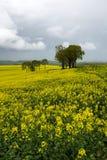 Blooming rape fields Royalty Free Stock Image