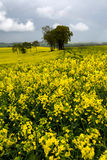 Blooming rape fields Royalty Free Stock Photography