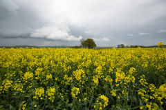 Blooming rape fields Stock Image