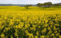 Blooming rape fields Royalty Free Stock Photos