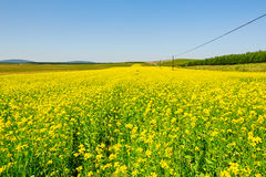 The blooming rape flowers and blue sky Royalty Free Stock Photos
