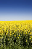 Blooming rape seed under blue sky Stock Photography