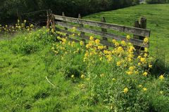 Blooming rapeseed before the closed wooden fence in the grassland in the beautiful spring. stock photo