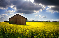 Blooming rapeseed field. (lat. Brassica napus) with shed Stock Photography