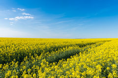 Blooming rapeseed field Royalty Free Stock Image