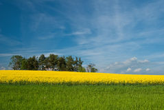 Blooming rapeseed field Royalty Free Stock Photography