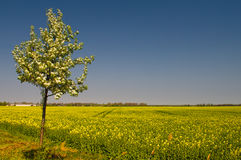 Blooming of Rapeseed field nearby Magdeburg Royalty Free Stock Photo