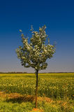 Blooming of Rapeseed field nearby Magdeburg Royalty Free Stock Images