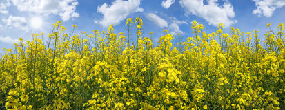 Blooming rapeseed field panorama Royalty Free Stock Images