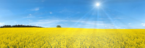 Blooming rapeseed field panorama Royalty Free Stock Photography